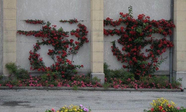 Entretien de massif de rosier à Pontcharra